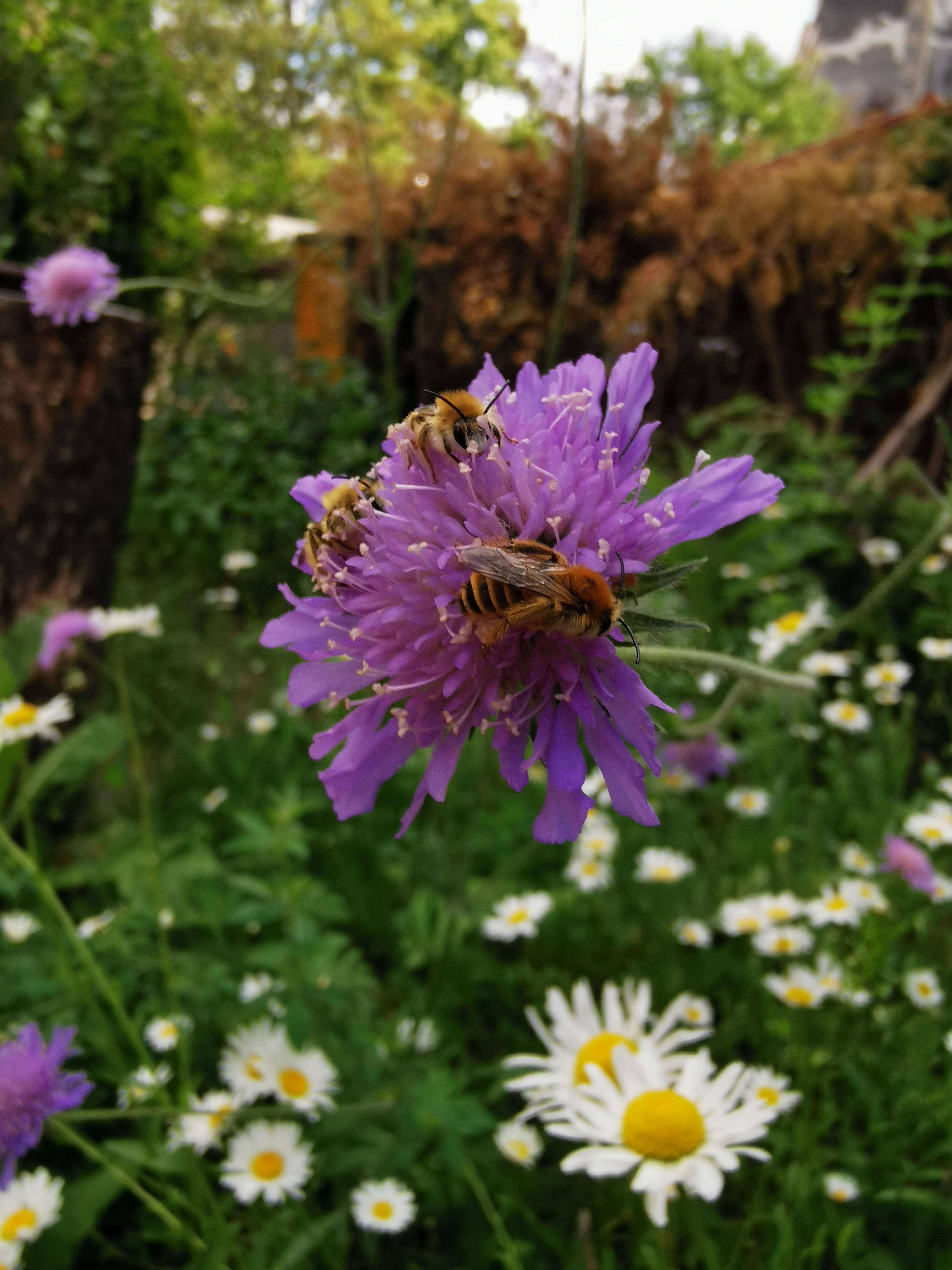 Wildbienen-Schlafgemeinschaft auf der Acker-Witwenblume