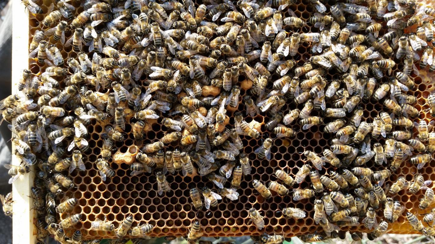 Imkerei,Imker,Zucht,bee,beekeeping,Bienen Heftzwecken 100 Stk,bunt